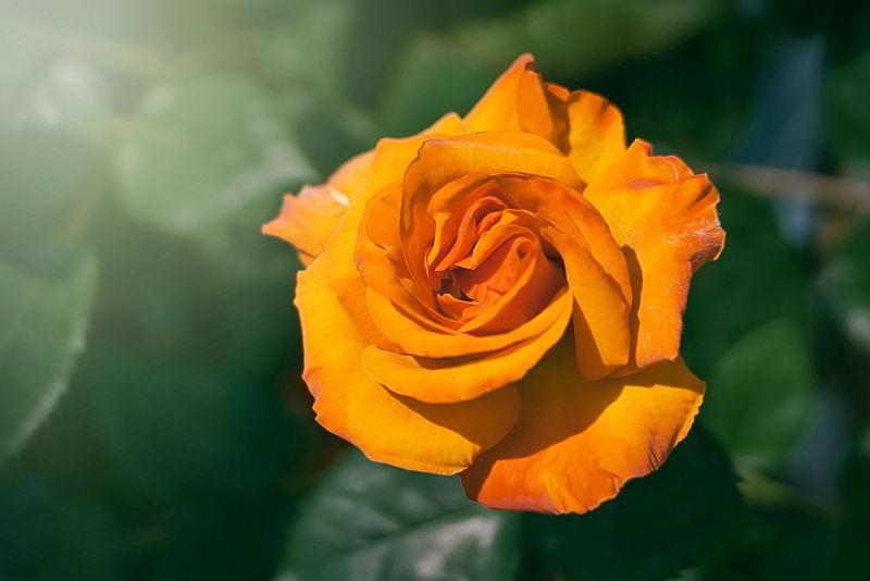 цветок сновидения